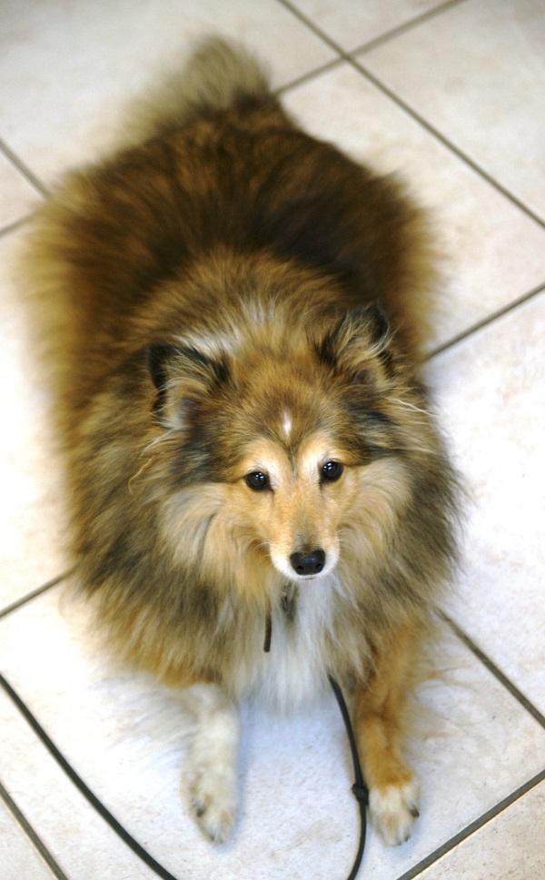 Ева -- собачка породы шелти не раз вошла в сюжеты Валентина и Антонины