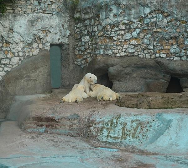 Белым медведям создана особенная атмосфера и привычный для них микроклимат. Даже в самый разгар лета в их вольере лежит снег. Но, похоже, северным обитателям все-равно жарковато.