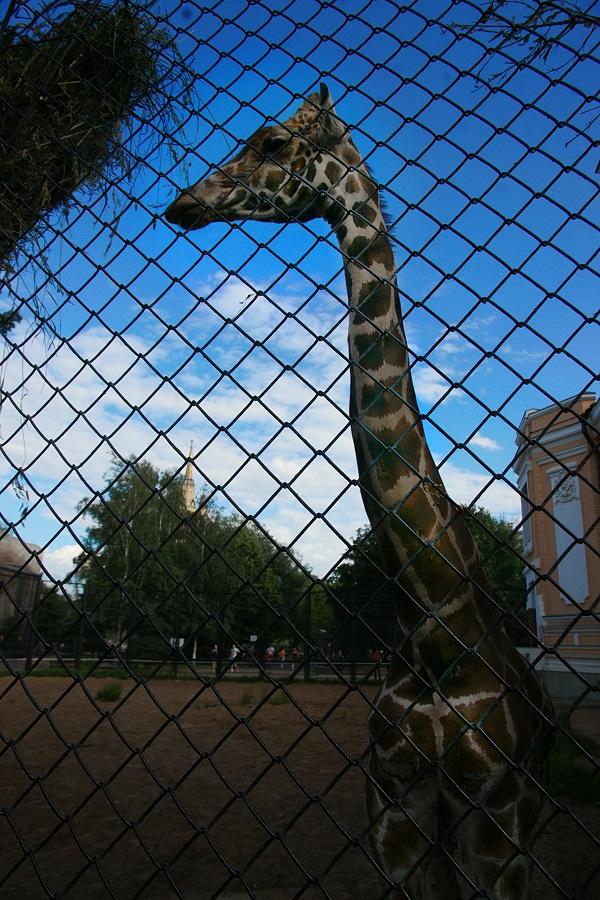 Такая длинная шея нужна жирафу не столько для того, чтобы есть листья с деревьев, сколько для того, чтобы пить воду из водоемов. Ведь как иначе жираф дотянется до воды, имея такие длинные ноги.