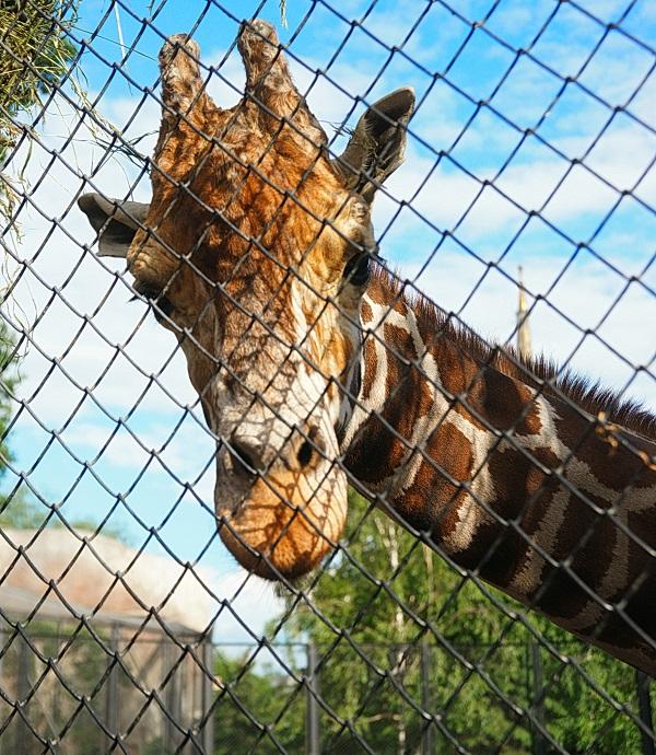 Жирафы обитают в саваннах Африки и являются самыми высокими животными планеты.