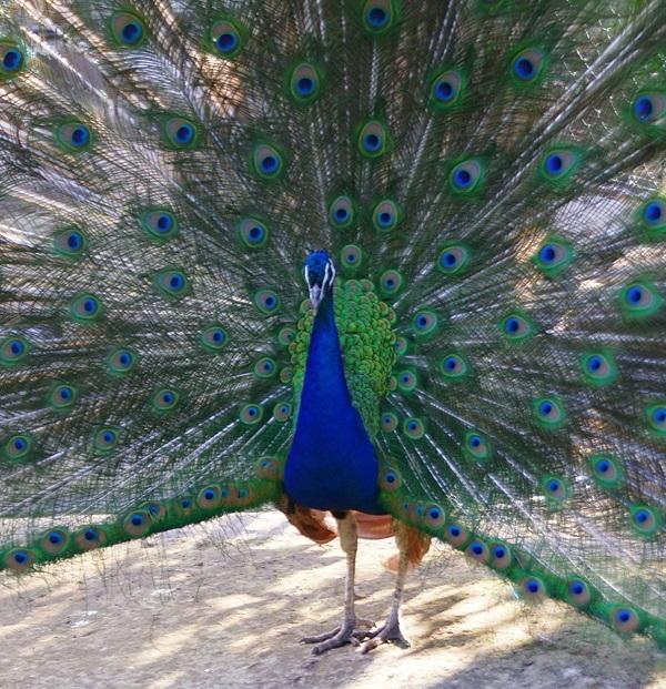 Одна из самых красивых иллюстраций животного мира -- раскрытый хвост павлина. Есть, чем гордиться великолепной птице!