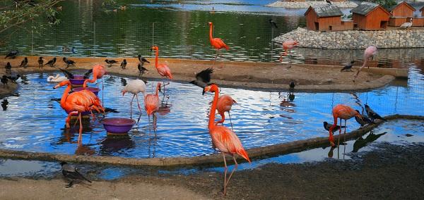 Фламинго -- птица долгожитель. В неволе они, бывает, доживают более восьми десятков лет.