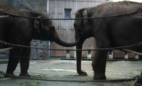 Какая трогательная забота. Слоны ухаживают друг за другом и иногда подают своими хоботами  друг другу еду.