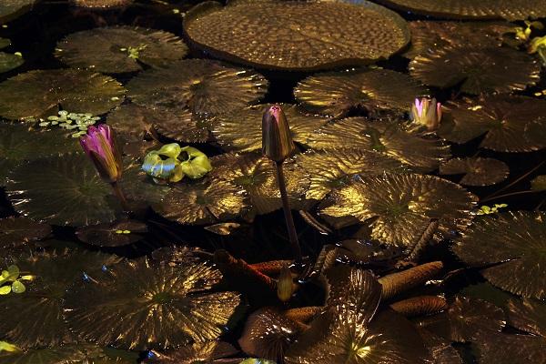 Аптекарский огород лилии фото 6 Александра Загряжская Арт-Релиз.РФ